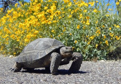 Desert Turtle Arizona