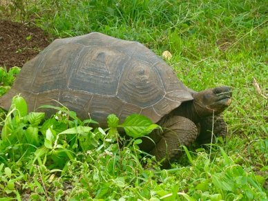 Animals of the Galapagos Islands Giant tortoise