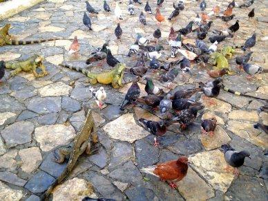 Iguans and pigeons in Guayaquil's Iguana Par