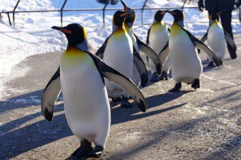 Calgary zoo penguin walk image