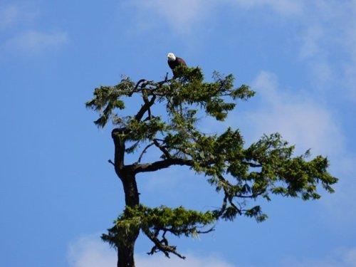 Bald eagle Blind Channel Resort