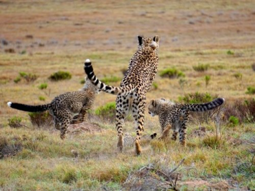 Mother cheetah and cubs South Africa