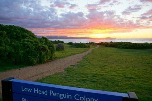 fairy penguins low head tasmania