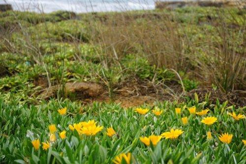 Flowers seen driving the Great Ocean Road