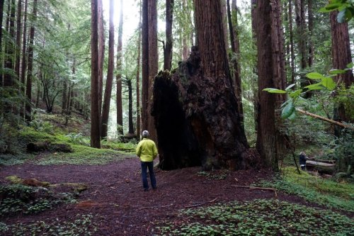 California Redwood Stump