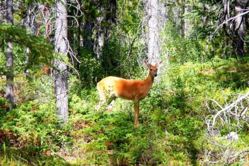 Deer Alberta Rockies