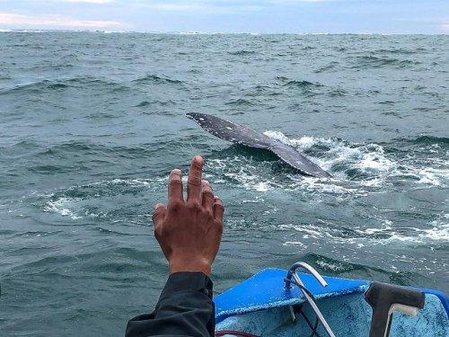 Fluke Gray whale Mar Y Aventuras