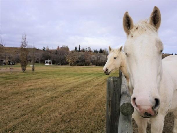 Horses St Ann Ranch Trochu