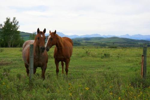 Horses in Longview Alberta