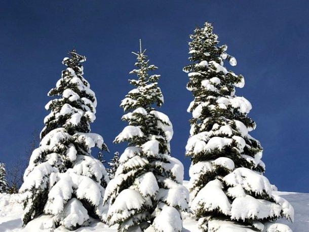 Three snow filled trees