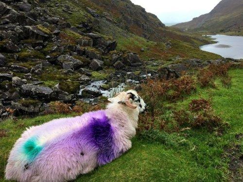 Painted Irish Sheep