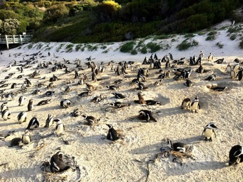Penguins False Bay