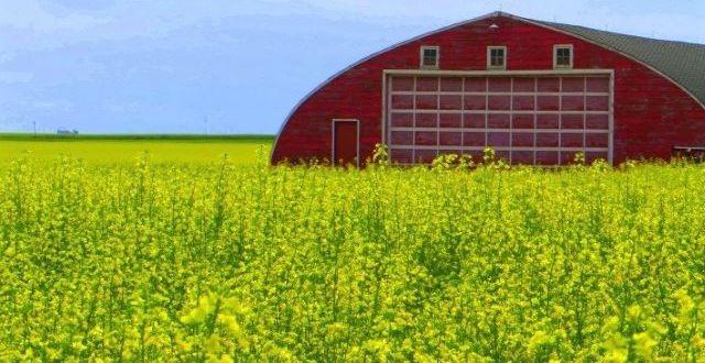 Rapeseed Canola field with barn