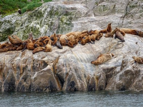 Sea Lions Glacier Bay Alaska