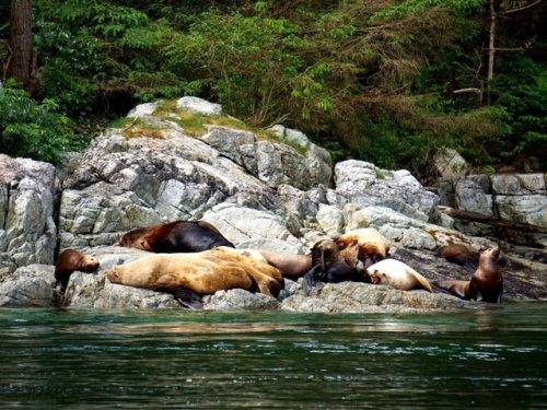 Sea lions near Blind Channel