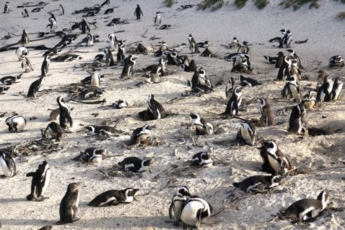 African penguins and chicks simon's Town South Africa