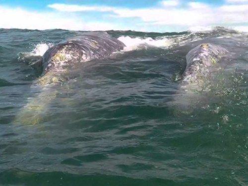 Two gray whales near boat Magdalena Bay