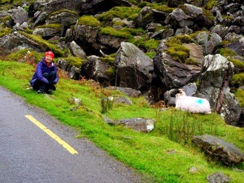 Visiting painted Irish sheep