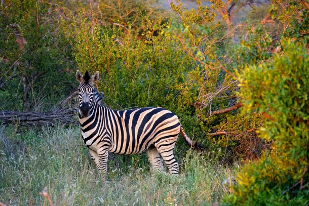 Zebra Greater Kruger National Park