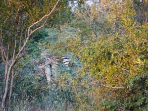 Zebras in the bush in colour