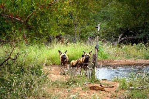 wild dogs Africa