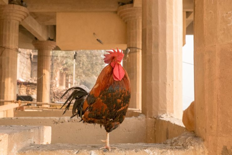 A rooster stands on a stone platform in Varanasi