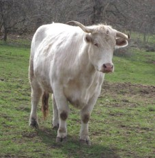 Esther cow
