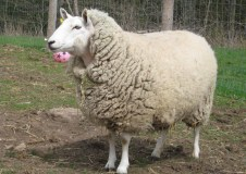 Esther sheep