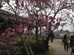 Magnolia glover gardens Nagasaki