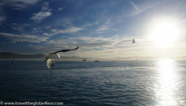 Seagulls attracted by the chum used to attract the great white sharks