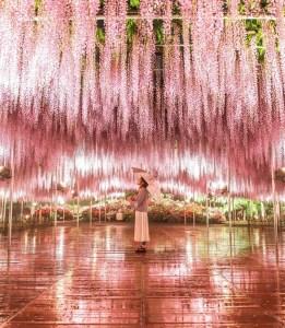 ragazza sotto glicini rosa ashikaga