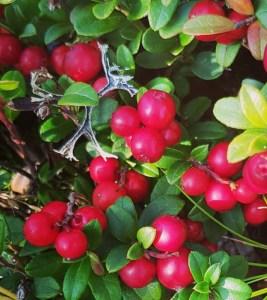 lingonberries traveltherapists finlandia