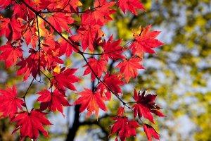foglie acero autunno il mio viaggio in giappone traveltherapists