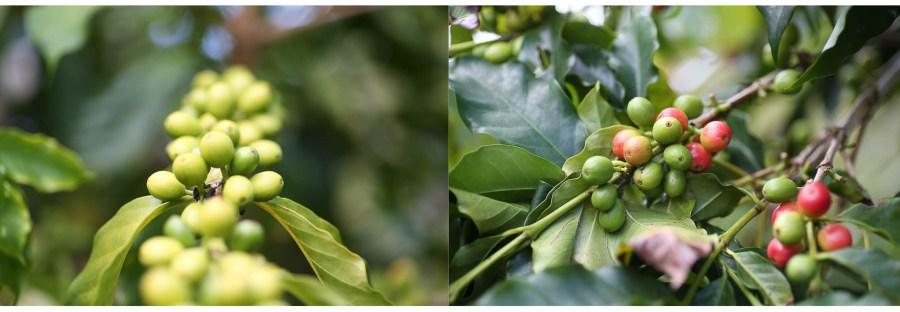 Coffee Cherries Japanese Coffee Farm Kona