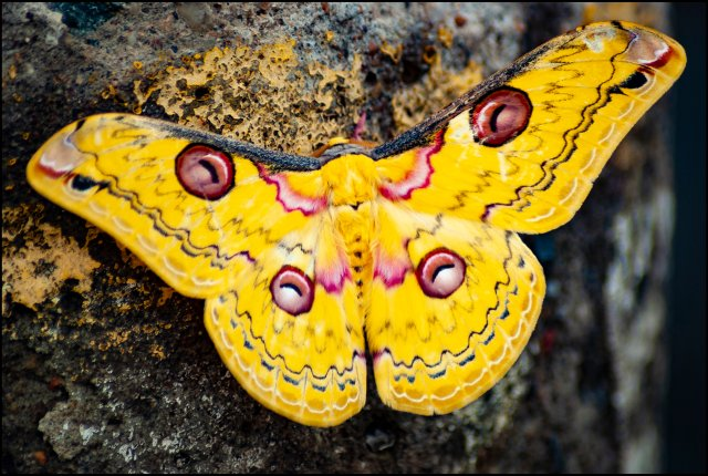 Yellow Tussar Silk Moth, Vengurla, Konkan Maharashtra, India