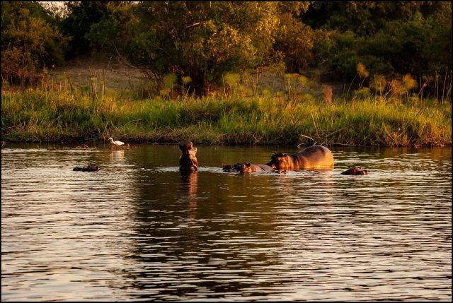Hippopotamus in Zambezi River, Livingstone, Zambia