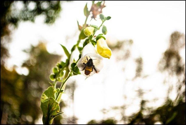 Bumblebee, Ranikhet, Uttarakhand, India
