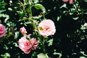 wigwam rose