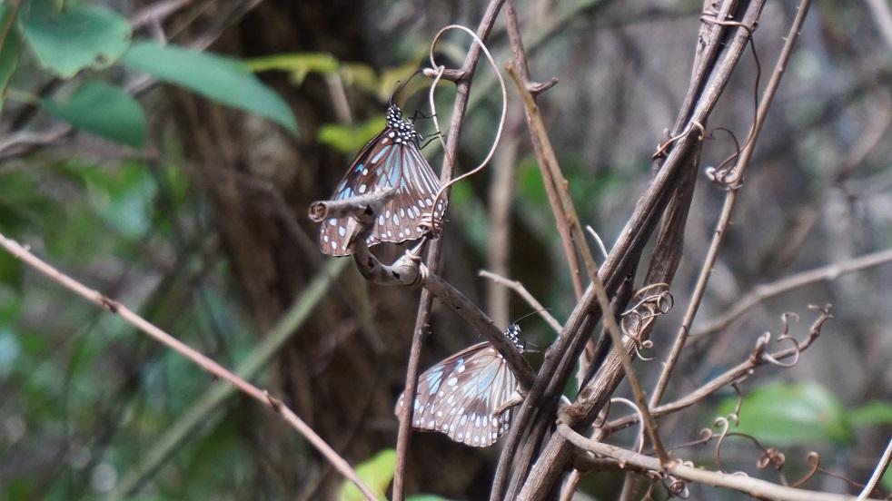 Vlinders op Magnetic Island