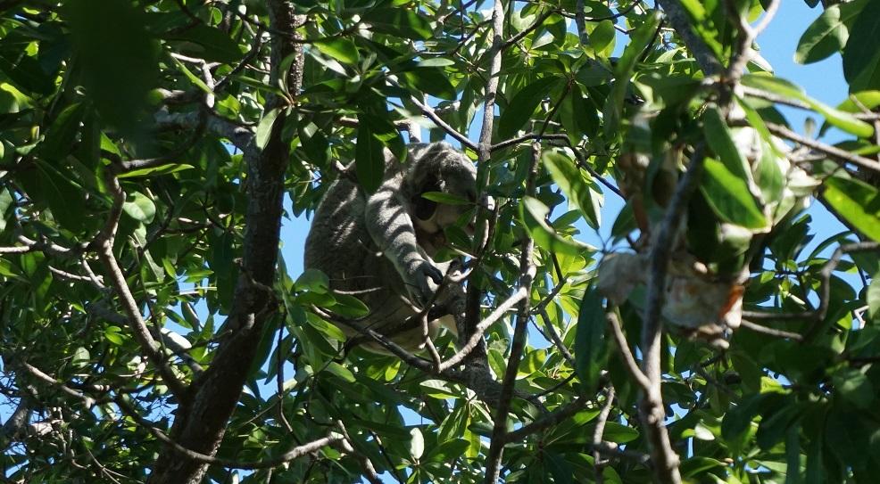 Koala wandeling Magnetic Island