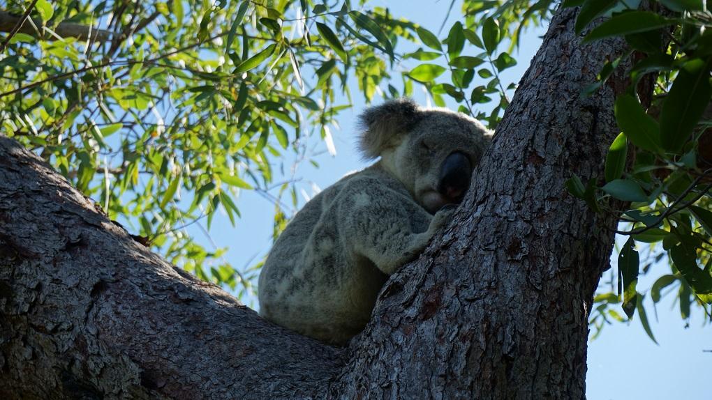 Slapende koala op Magnetic Island
