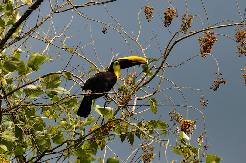 Green Toucan in Osa Peninsula, Costa Rica