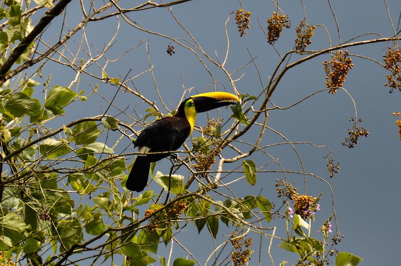 Green Toucan in Osa Peninsula, Costa Rica