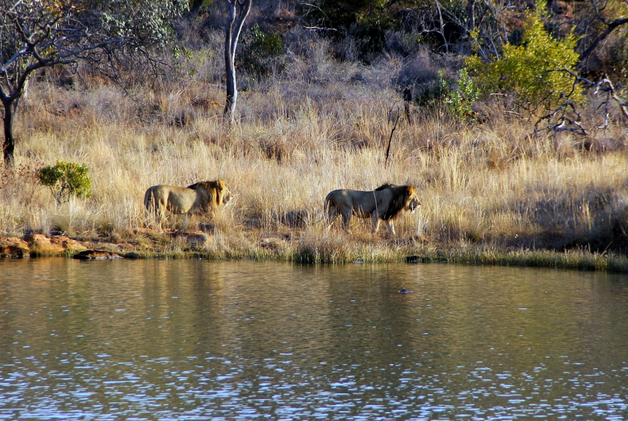 Big Five Lion South Africa