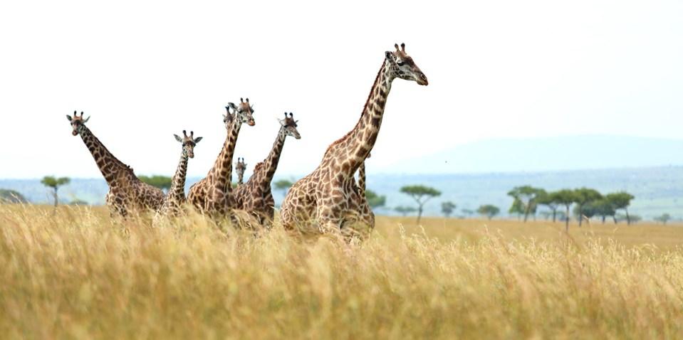 Angama Mara Safari