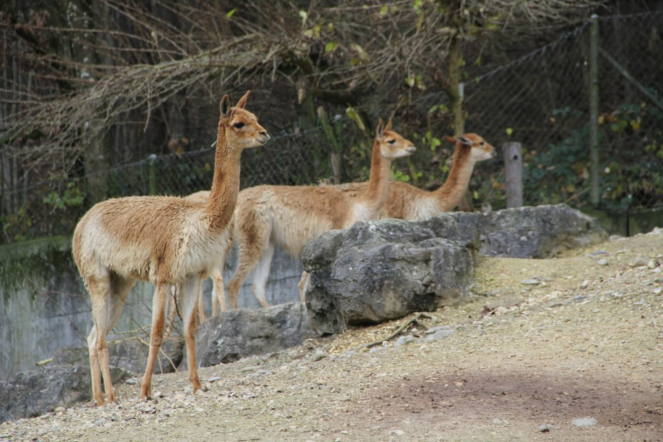 Some vicunas in the Zurich Zoo