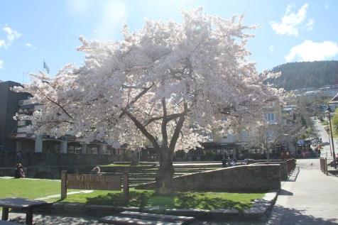 Queenstown Cherry Blossom Tree
