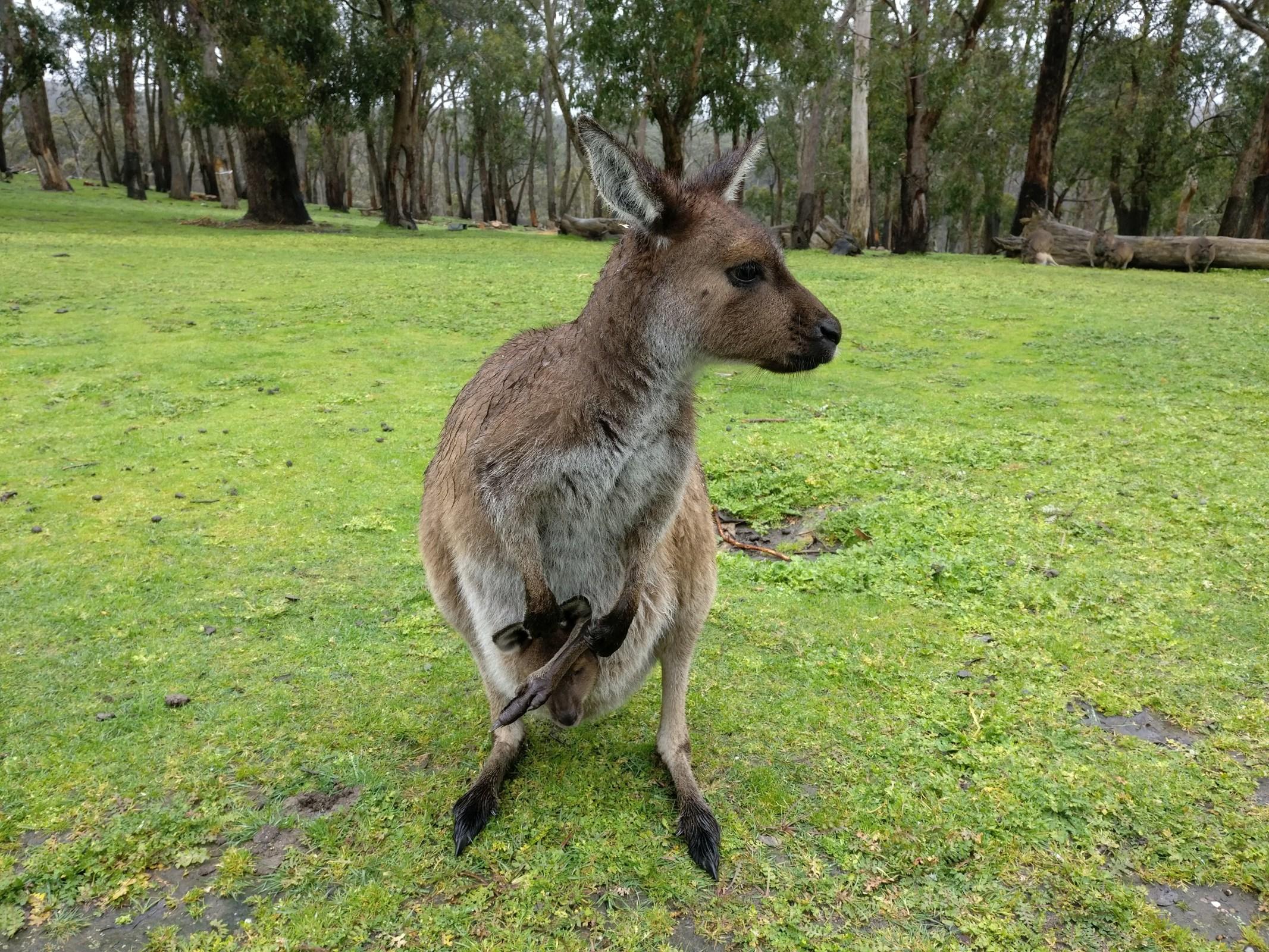 Cleland Park Adelaide Kangaroo