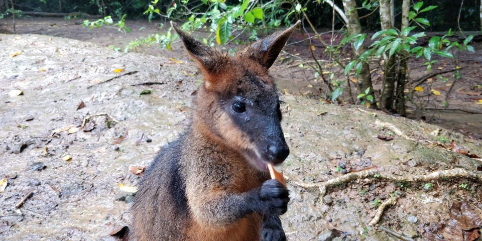 Daintree National Park Wallabee