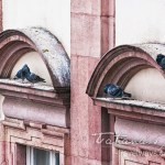 Photo: Pigeons of Heidelberg hiding under window arches from the cold February rain